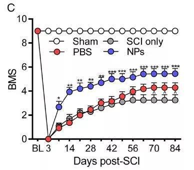 ▲后肢运动功能评分显示,受伤后注射纳米粒子的小鼠相比对照组获得了显著改善(图片来源:参考资料[1])