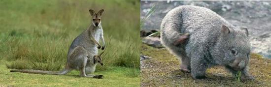 袋鼠和袋熊归于后兽类(图片来源于网络)