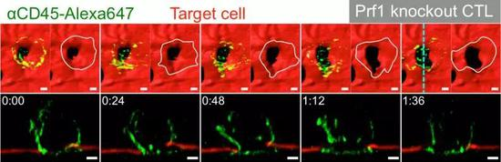 """之前CTL细胞扒拉靶细胞的细胞膜,莫非是在""""叩开牙关"""""""