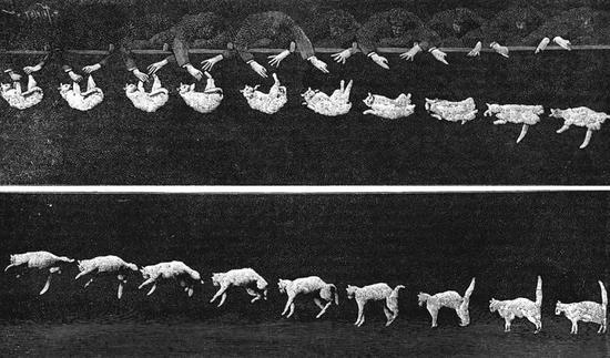 图 | Étienne-Jules Marey 用高速摄像机拍摄的猫失踪落的照片(来源:Wikipedia)
