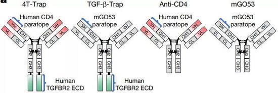 AT-Trap和抗CD4抗体以及抗非靶向CD4的TGF-β抗体的结构对比