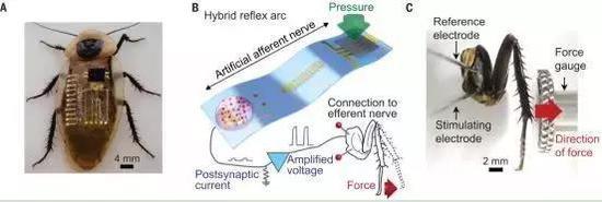 图 人造传入神经与生物传出神经接口形成的生物-电子混合反射弧