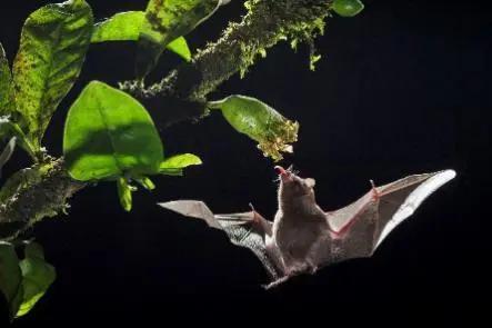 悬停在空中的食蜜蝙蝠
