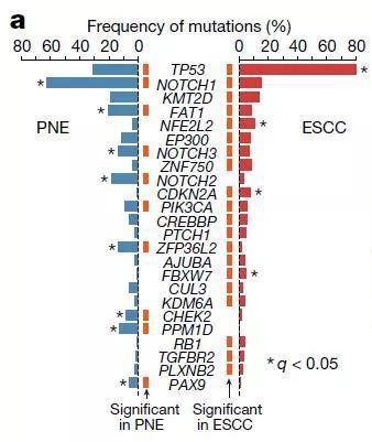 ▲形式平常的食管上皮结构(PNE)和食管鳞状细胞癌(ESCC)的结构中,驱行基因的突变频率有所分别(图片来源:参考原料[1])