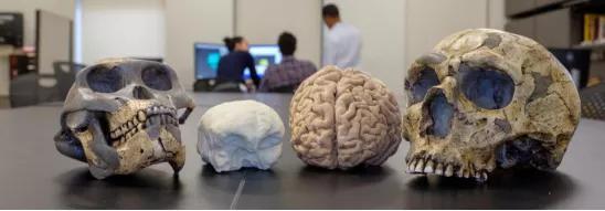 人类祖先与现代人类大脑大小的模型。图源:https://www.eurekalert.org