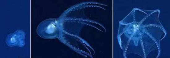 体态透明的水母蛸,既像水母又像外星人。图片来源:Tree of Life Web Project