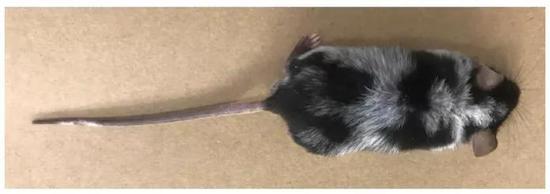 花白的小鼠