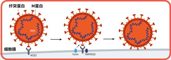 病毒感染细胞的过程。ACE2:细胞膜上的受体。Furin:弗林蛋白酶,用来处理纤突蛋白。