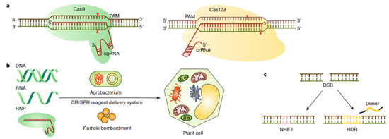 CRISPR技术行使于植物基因组编辑的模式图,图片来自Nature Food。