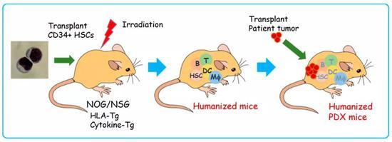 利用NOG/NSG小鼠构建人类肿瘤模型 | Cell