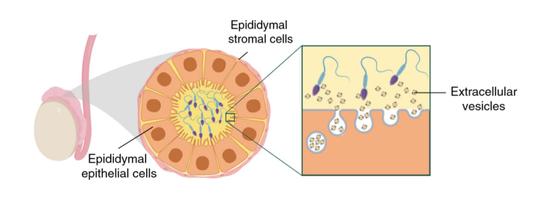 睾丸上皮细胞将胞外囊泡传递给发育中的精子