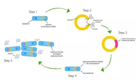 构建重组质粒的步骤:1。 获取含有质粒的菌株;2。 挑取质粒并用响答的酶剪切质粒;3。 外源基因连接到剪切后的质粒,构建重组质粒;4。 重组质粒转入新的菌株;5。 新的菌株获得新的性状。(来源:http://eschool.iaspaper.net/what-is-genetic-modification/the-process-of-genetic-engineering/)