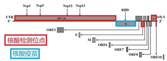 核酸检测与核酸疫苗的靶点