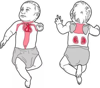 图4 褐色脂肪存在于肩胛骨间、颈背部、腋窝、纵隔及肾脏周围,婴幼儿时期比例最高,以后随年龄增长而逐渐减少。图片来源: https://quizlet.com/9417017/ecological-terms-sci-523-flash-cards/