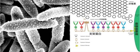 电镜下的热线梭菌及其表面纤维小体的示意图