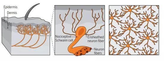 四十五年前,人们发现神经胶质细胞延伸到真皮层,但是新发现表明它们会进一步进入表皮,形成压力检测网。图片来源:Science