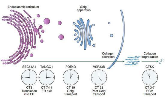 胶原蛋白相符成和降解都倚赖昼夜节律