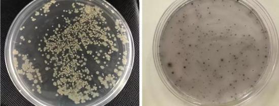 图1 实验室培养的海洋微生物(马岩博士 拍摄)(左:珊瑚表面分离纯化的细菌;右:海中金属生锈层中分离纯化的细菌)