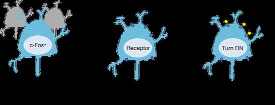 ▲追求并确认在麻木状态时会被激活的神经元