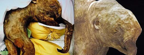 西伯利亚永久冻土中发现的幼年长毛猛犸象尸体,作者:James St。 John on VisualHunt