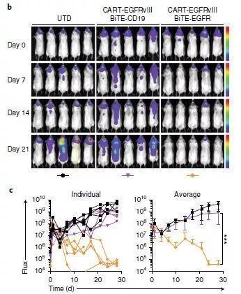 ▲分泌BiTE靶向EGFR的CART-EGFRvIII细胞,让小鼠脑内的肿瘤在3周之内显著缩小甚至完全消失(图片来源:参考资料[1])