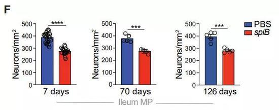 ▲在肠道细菌感染下,小鼠的神经细胞数量出现了长期的减少(图片来源:参考资料[1])