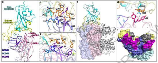 ▲CB6能与ACE2产生竞争,从而干扰病毒与受体之间的相互作用(图片来源:参考资料[1])