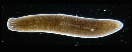 神奇的涡虫,也许隐藏着治疗人类神经损伤的秘密