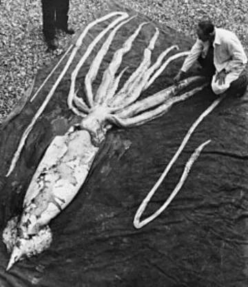 搁浅的大王乌贼,可见巨大的体型和十分长的腕。图片来源:维基百科