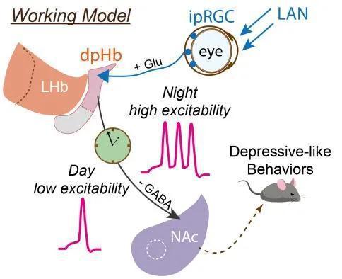 ▲研究者提出了夜间增加光照引起抑郁样行为的一条神经通路(图片来源:参考资料[1])