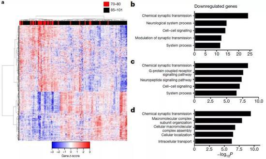 ▲认知正常的长寿老人,大脑皮层中与神经兴奋性和突触功能有关的基因表达下调(图片来源:参考资料[1])