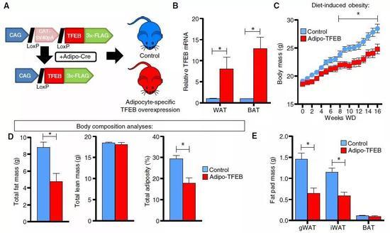 ▲脂肪细胞内过量表达TFEB的小鼠,吃了高脂饮食却没有长肥肉(图片来源:参考资料[1])
