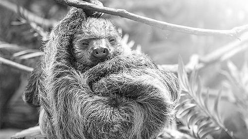 休息中的树懒图片来源:ISTOCK.COM