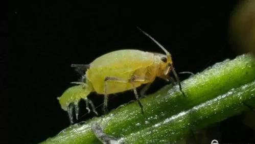 卵胎生的蚜虫(图片来源于网络)