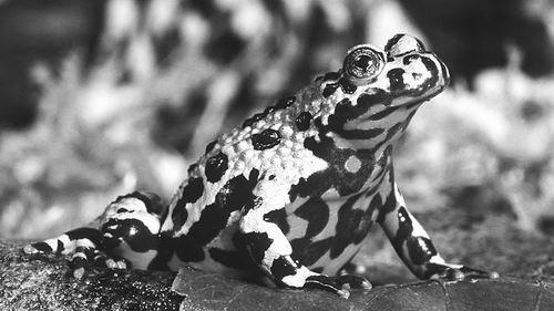 東方火腹蟾蜍圖片來源:CRAIG K。 LORENZ