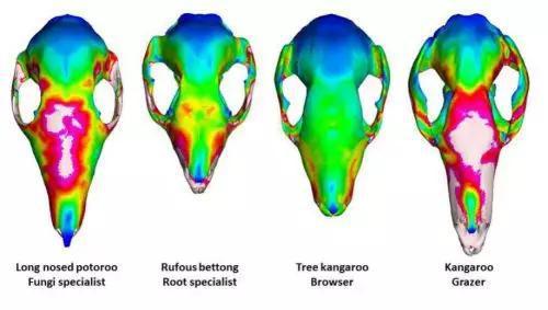 部分有限元分析结果示意图。从左到右食性分别为吃蘑菇、吃根、吃嫩枝和吃草(图片来源:Dr。 Rex Mitchell, University of New England。原创)