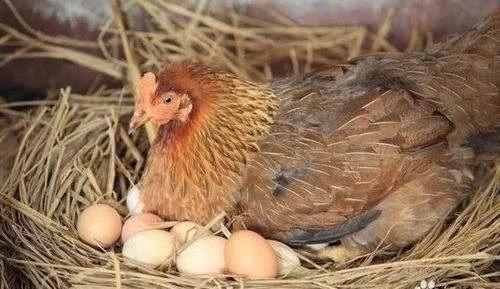 母鸡生蛋(图片来源于网络)