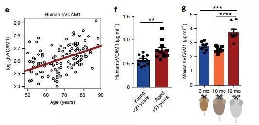 ▲随着年龄增长,VCAM1的表达量增多(图片来源:参考资料[1])