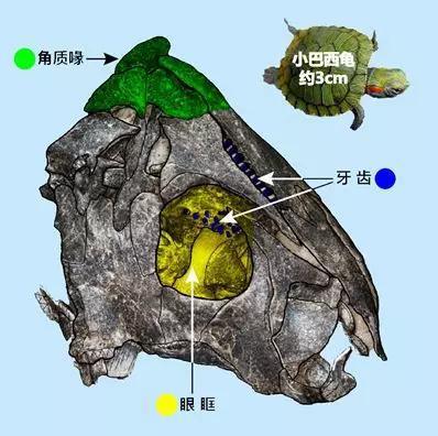始喙龟化石头骨后头,只保留了右半边脸,穿过眼眶能看到腭面的牙齿。来源:改动自参考文献[7]