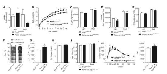 ▲Sema3信号通路受干扰的基因敲除小鼠在耗氧量、活动量等能量消耗的多项指标上都低于对照组,体重显著增大(图片来源:参考资料[1])