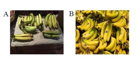 圖2 大麥克香蕉(A)和卡文迪什香蕉(B) (圖片分別來自維基百科和The Conversation)