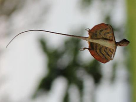 飞蜥:看我华丽的滑翔(图片来源:维基百科)