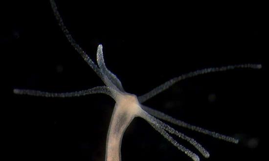淡水水螅有一个较为古老和简单的神经系统。它由起搏器神经元组成,驱动水螅的身体有节奏地自发收缩。图片来源:Alexander Klimovich