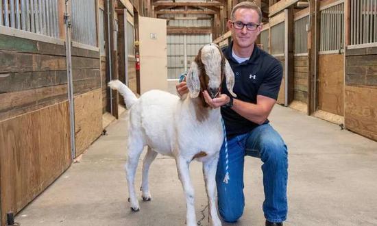 """华盛顿大学生殖生物学家 Jon Oatley 在给一头山羊""""代父""""喂食。图片来源:Bob Hubner, Washington State University"""