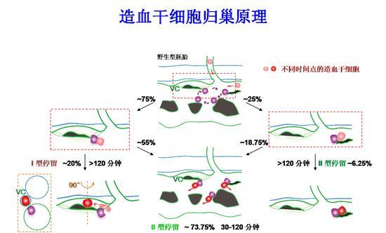 """""""先导细胞""""引导造血干细胞进入血管微环境的原理图(紫色细胞为""""先导细胞"""",VC指使静脉微血管,绿色代外血管)"""