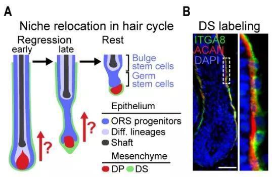 ▲真皮鞘(绿色显示)环绕在毛囊外围,这项研究想要弄清,它们在真皮乳头细胞(DP)向上靠近干细胞的过程中发挥着什么作用(图片来源:参考资料[1])
