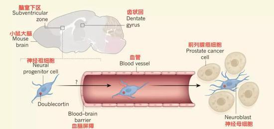 ▲神經干細胞進入腫瘤流程圖[1]