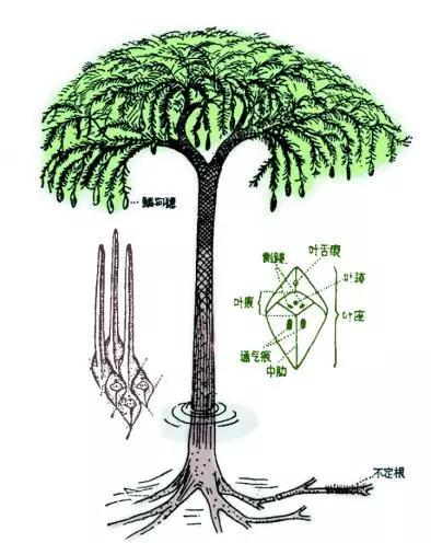 图6 鳞木和封印木