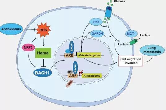 ▲抗氧化剂稳定Bach1刺激肺癌转移的机制示意图(图片来源:参考资料[2])