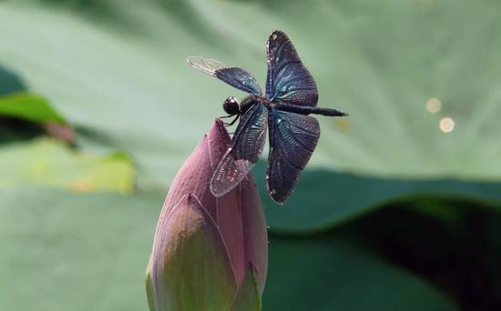 暗丽翅蜻 (图片来源:pixabay.com)